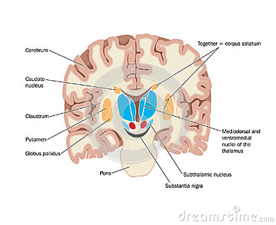 Drawing of the brain showing the basal ganglia and thalamic nuclei.