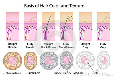 Cross section of different hair texture and color