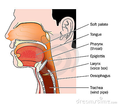 Cross section of nose and throat