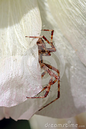 A cross spider