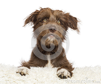 Crossbreed dog lying on white fur and looking