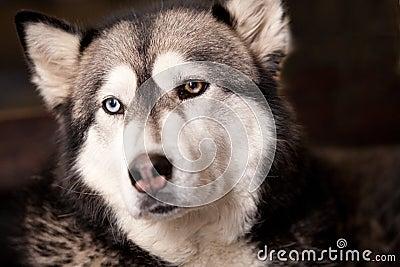 Crossbreed husky malamut