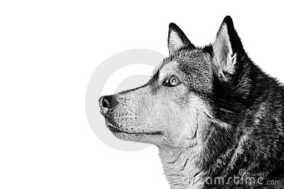 Crossbreed husky and malamut attentive