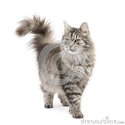 Free Crossbreed Siberian Cat And Persian Cat Royalty Free Stock Photo - 6610485