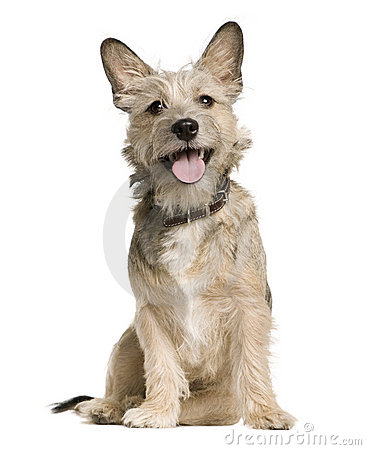 Free Crossbreed With A Jack Russell Terrier, Sitting Stock Image - 12485851