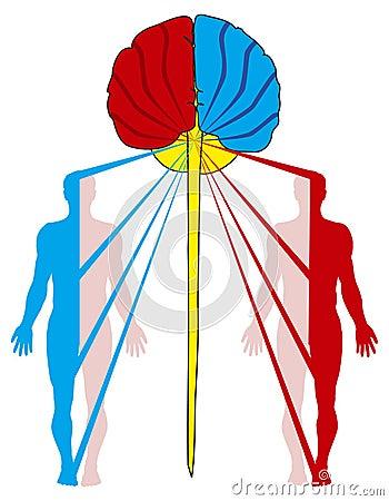Crossing of nerve fibers