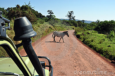 Crossing zebra from a safari jeep