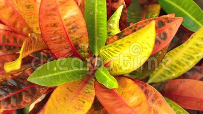 Croton Plant Leaves High Definition Footage Stock Video   Video Of  Irrigation, Cultivated: 110992963