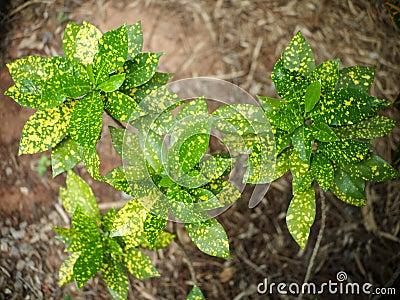 Codiaeum Plant House on croton plant, codiaeum revolutions plant, codiaeum variegatum plant,