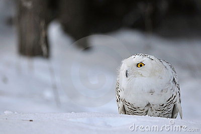 Crouched snowy owl