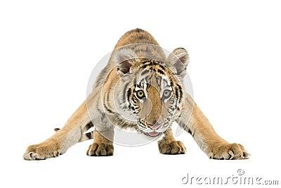 Crouching Bengal Tiger
