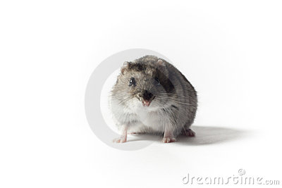 Crouching Hamster