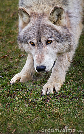 Crouching Timber Wolf