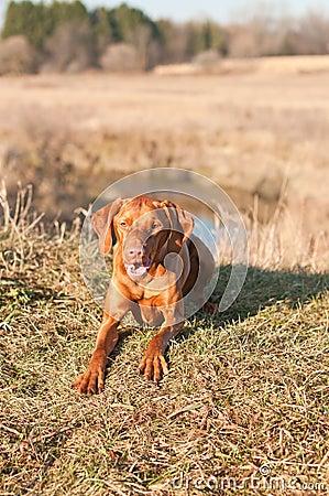 Crouching Vizsla Dog (Hungarian Pointer)