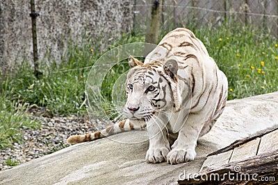 Crouching White Tiger