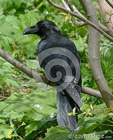 Free Crow Stock Image - 97717021