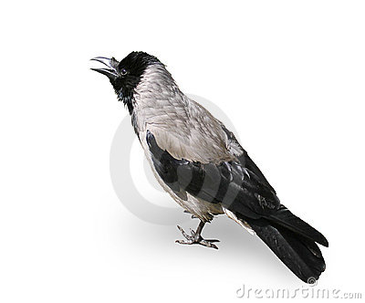 Crow - A Bird Isolated On White Background