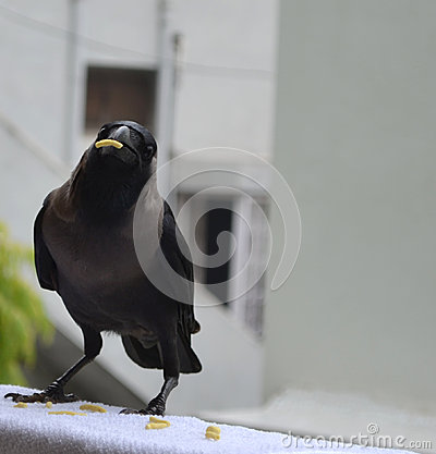 Crow with food in beak