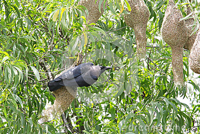 A crow hanging and looking to weaver bird nests