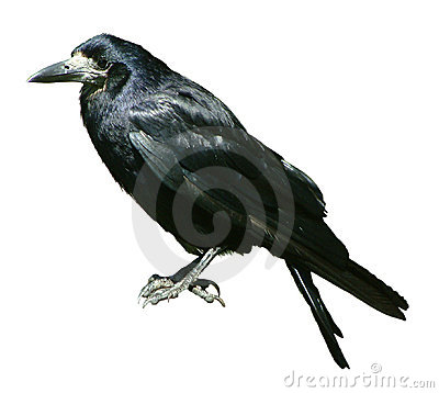 Free Crow Isolated Stock Photography - 44952