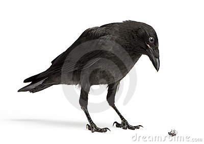 Crow Looking down at a dead fly