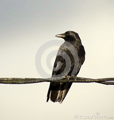 Free Crow On Wire Stock Photos - 85111453