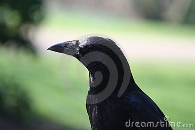 Crow portrait, Corvus corone