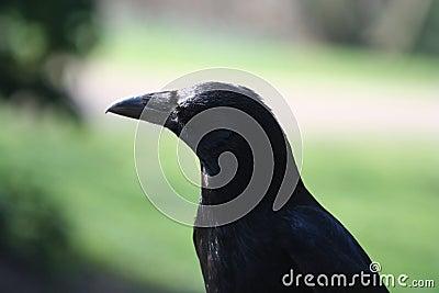 Crow portrait, Corvus corone