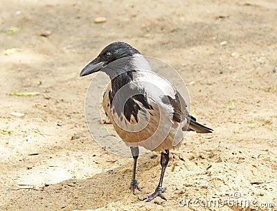 Crow on the sand