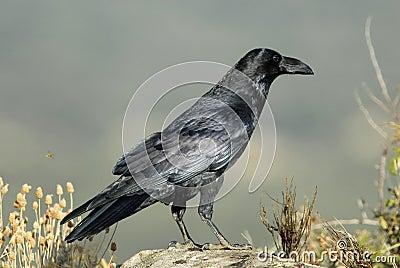 Crow on stone