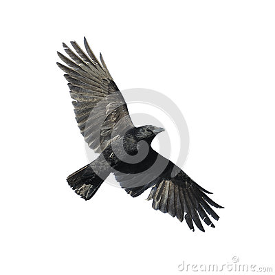 Crow With Wide Spread Wings Royalty Free Stock Images