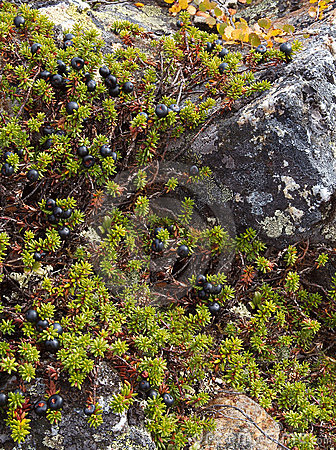 Crowberry shrubs