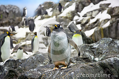 Crowded colony of Penguins on the stone coast