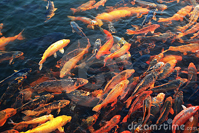 Crowed goldfish