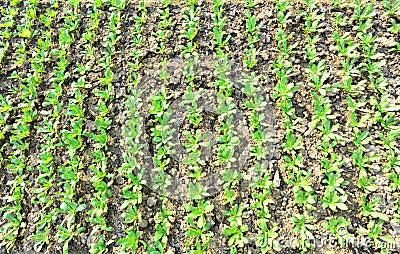 Crown daisy field