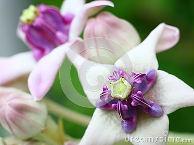 Crown Flower (Calotropis gigantea)