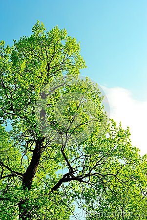 Crown of an oak in May, covered with first leaves