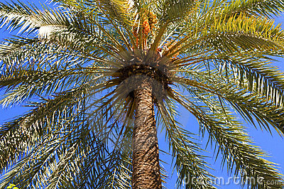 Crown of a palm tree
