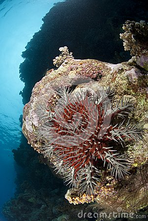 A Crown-of-thorns starfish, damaging to coral reef