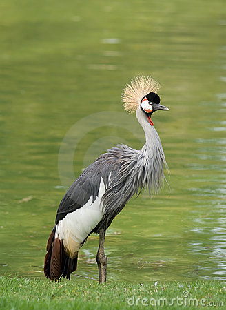 Free Crowned Crane Royalty Free Stock Photo - 6733365