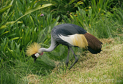 Crowned Crane, Kenya