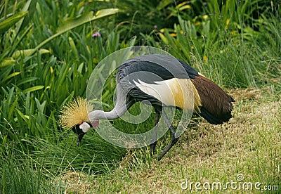 Crowned Crane, Kenya