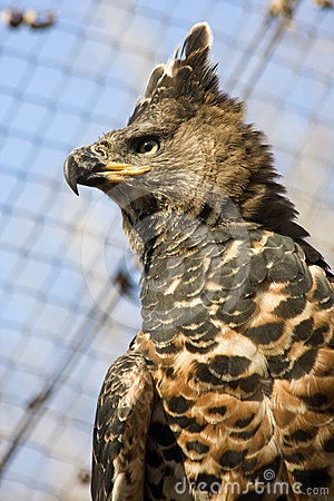 Crowned hawk-eagle