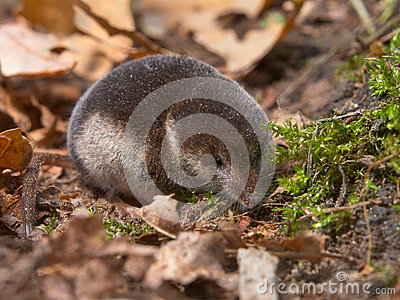 Crowned shrew