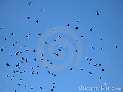 crows in the blue sky