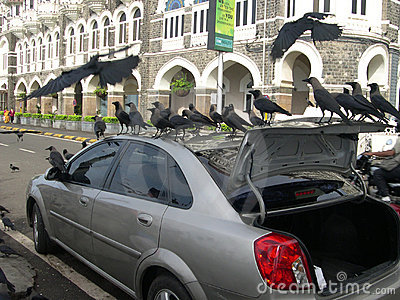 Crows on Car