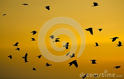 Crows fling in sky at sunset