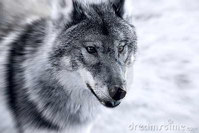 Cruel Wolf