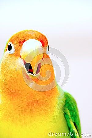 Crying Lovebird closeup
