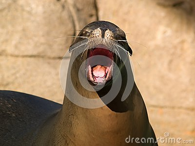 Crying sealion